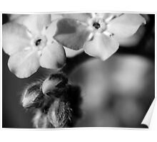 Forget-Me-Nots 6 B&W Poster