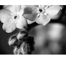 Forget-Me-Nots 6 B&W Photographic Print