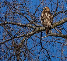 Adult Red-tailed Hawk by Thomas Young