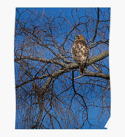 Adult Red-tailed Hawk Poster