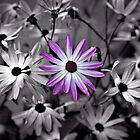 African daisies - selective colour by PhotosByHealy