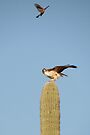 Red-tailed Hawk vs. American Kestrel II by Kimberly Chadwick