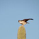 Red-tailed Hawk vs. American Kestrel II by Kimberly Chadwick