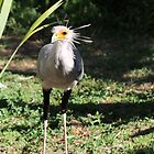 Secretary Bird by Ren Provo
