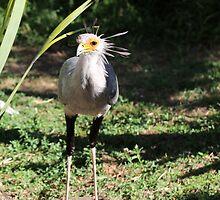 Secretary Bird by Ren Provo