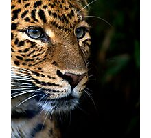Chinese Panther Photographic Print