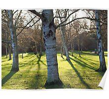 Birch tree shadows Poster