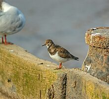 Turnstone by VoluntaryRanger