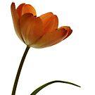 Simple Tulip by Lynn Gedeon