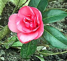 Camelia by beracox