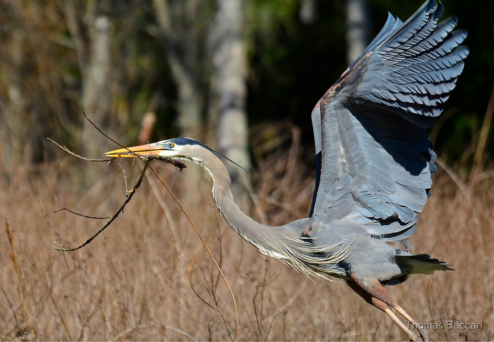 Taking Off With A Big Stick For The Nest by TJ Baccari Photography