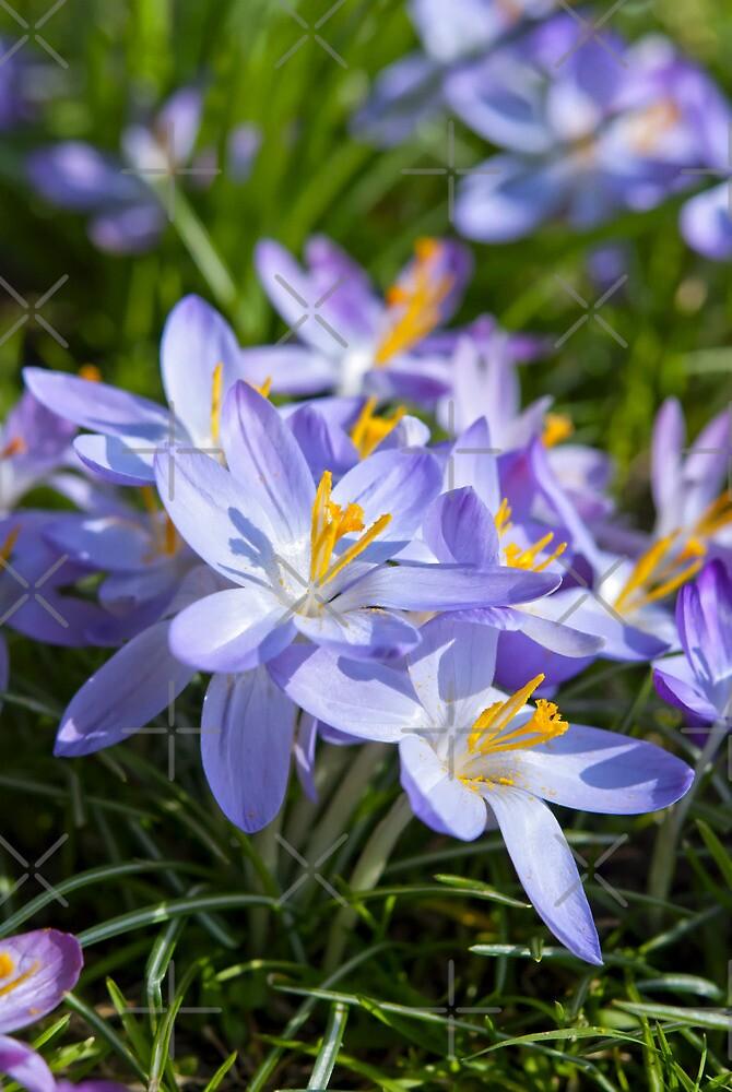 Crocus Flowers by Vac1