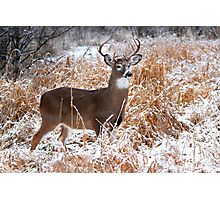 A Regal Stance - White-tailed Buck Photographic Print