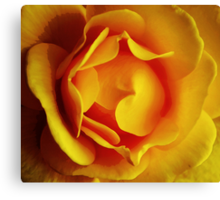 Golden rose Canvas Print