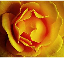 Golden rose Photographic Print