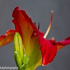 Red daylily by KSKphotography