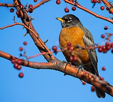 The American Robin: The de Tocqueville Bird by John Williams