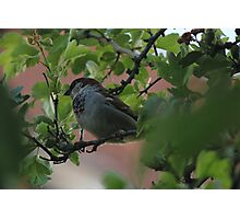 Hiding Sparrow Photographic Print