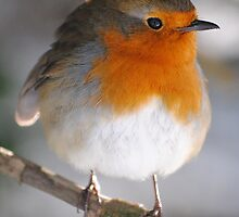 Robin by Dorothy Thomson