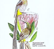 Cape Sugarbird / Promerops cafer by marietjie