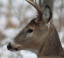 Deer by buskyphotos