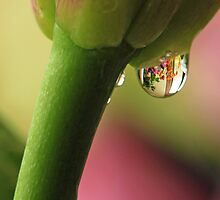 Water Drop on Lily by Lynn Gedeon
