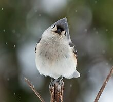 Titmouse on snowy branch  by RobTravis
