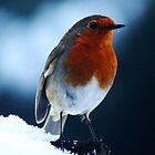 Robin Red Breast by Ben Johnson