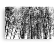 Black and White Aspens Canvas Print