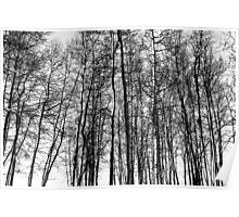 Black and White Aspens Poster