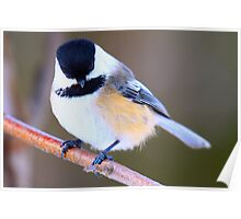Chickadee Contemplating Armed Robbery Poster