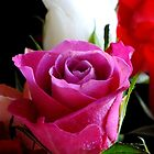 Pink rose by Lorna Taylor