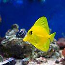 Curious Zebrasoma Flavescens yellow tang fish.  by Debu55y