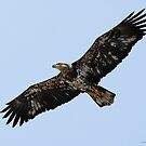 Bald Eagle 2nd to 3rd year by Dennis Cheeseman