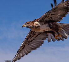 Ferruginous Hawk in Flight by RobTravis