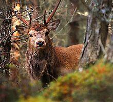 Red deer stag by Macrae images