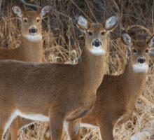 Do Ra Me - White-tailed deer Sticker