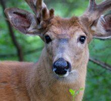White-tailed deer Buck Sticker