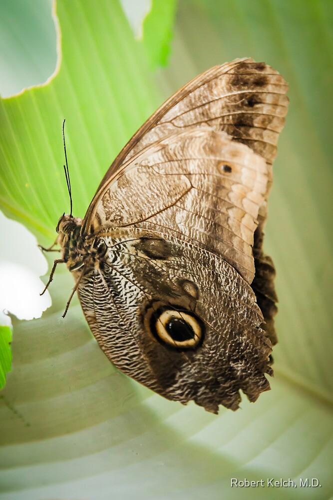 Great Owl Butterfly by Robert Kelch, M.D.