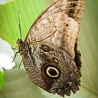 Great Owl Butterfly by Robert Kelch, M.D.