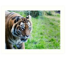 Snarling tiger Art Print