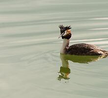 Crested Grebe, Lago Trasimeno, Umbria, Italy by Andrew Jones