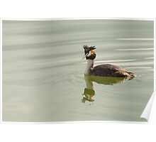 Crested Grebe, Lago Trasimeno, Umbria, Italy Poster