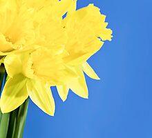 Daffodil by Norma Cornes