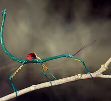Stick insect by jimmy hoffman