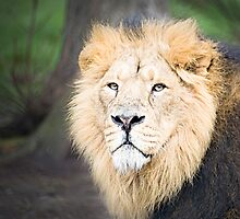 Lion by Norma Cornes