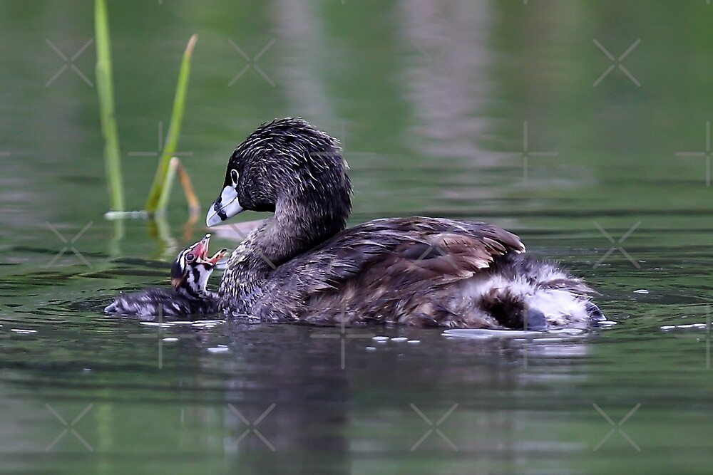 Please Sir, I want some more - Pied-billed Grebes by Jim Cumming
