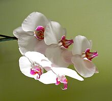Orchid by inge1967