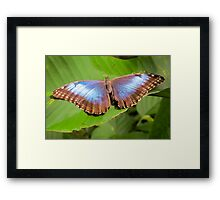 Blue Morpho in Costa Rica Framed Print