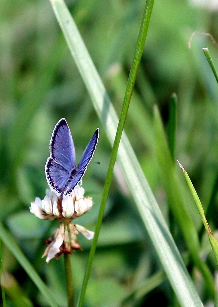 Eastern Tailed Blue Butterfly (w/o watermark) by Paula Tohline  Calhoun